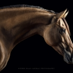 Kiger-Mustang; Stute; Portrait; Stand; Studio; Fine-Art; Pferdefotograf; Pferdefotografie; Pferd; Pony; Horse; Equus; Equestrian; Equine; photography; photographer; animal; Pferdefotoworkshop; Pferdefotografieworkshop; Workshop; Fotoworkshop
