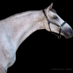Pferd, Warmblut, Portrait, Schimmel, Pferdefotograf, Pferdefotografie, Pferdefotoworkshop, Workshop, Fotoworkshop, Schwarzer Hintergrund, horse, photo, photography, equus, equine