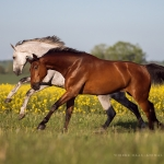 Pferd, Warmblut, Galopp, Schimmel, Brauner, Pferdefotograf, Pferdefotografie, Pferdefotoworkshop, Workshop, Fotoworkshop, Weide, Raps, horse, photo, photography, equus, equine