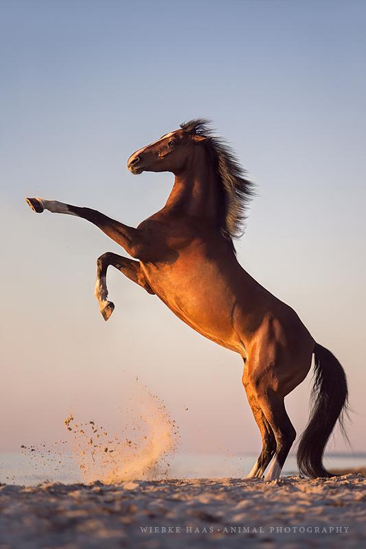 Fotoshooting am strand mit ihrem pferd wiebke haas animal pferd warmblut steigen brauner pferdefotograf pferdefotografie pferdefotoworkshop workshop altavistaventures Images