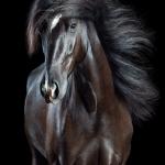 Sony World Photo Award, animal, equine, equus, fine art, horse, horse photography, Pferd, Pferde, Pferdefoto, Pferdefotograf, Pferdefotografie, photography, Schütteln, Studio, Tierfotograf, Tierfotografie