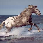 Fotoshooting Am Strand mit Ihrem Pferd, Meer, Ostsee, Strand, Pferd, Pferde, Pferdefotoshooting, Pferdefotograf, Pferdefotografie, Appaloosa, Wasser