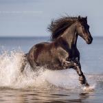 Fotoshooting Am Strand mit Ihrem Pferd, Meer, Ostsee, Strand, Pferd, Pferde, Pferdefotoshooting, Pferdefotograf, Pferdefotografie, Friese, Wasser